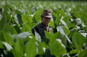 Nicotiana: Alla scoperta del Tabacco più Diffuso al Mondo
