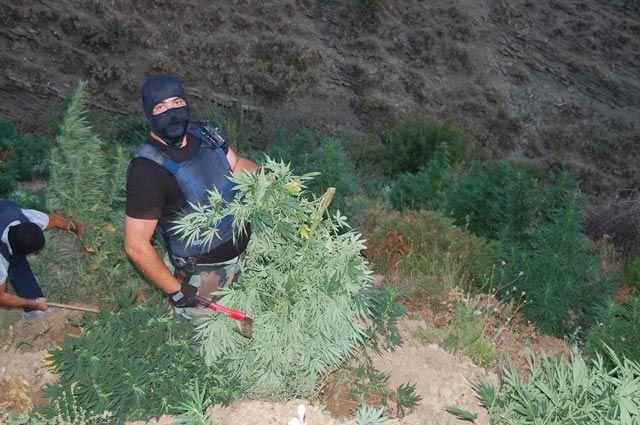 marijuana albanese