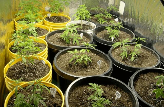 coltivazione cannabis in uruguay