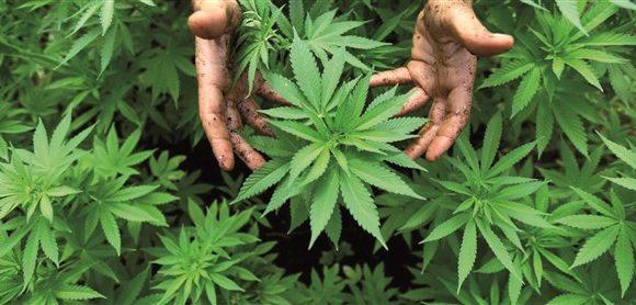 I mille usi della cannabis sativa