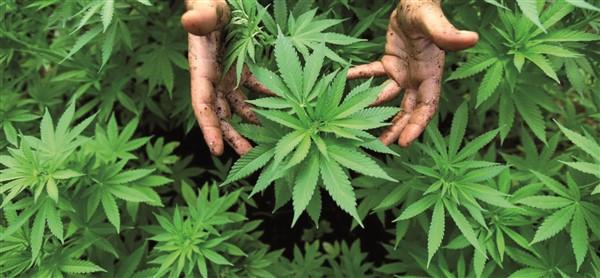 usi della cannabis sativa