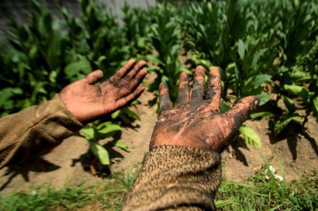 Come coltivare il tabacco