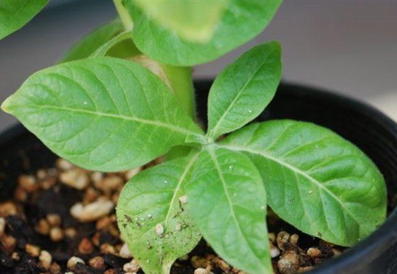 Come coltivare il tabacco in casa – consigli utili e legislazione