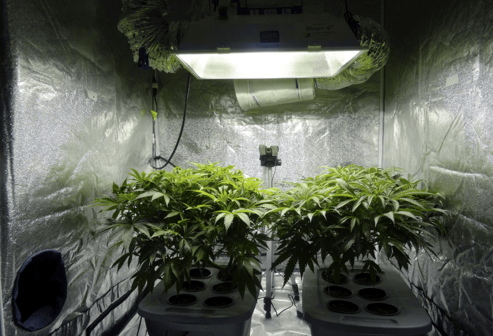idroponica cannabis coltivazione