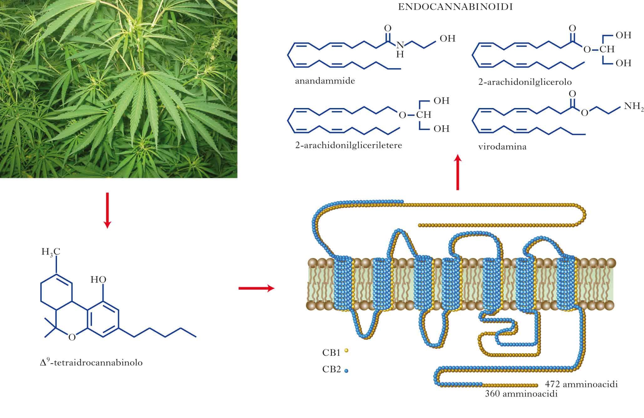 Sistema Endocannabinoide infografica