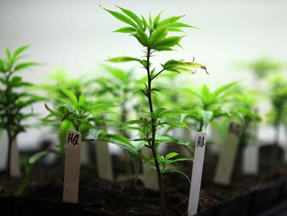 Ecco i vantaggi del coltivare marijuana da talee invece che da semi