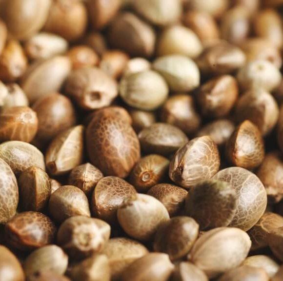 Come controllare la qualità dei semi di cannabis?