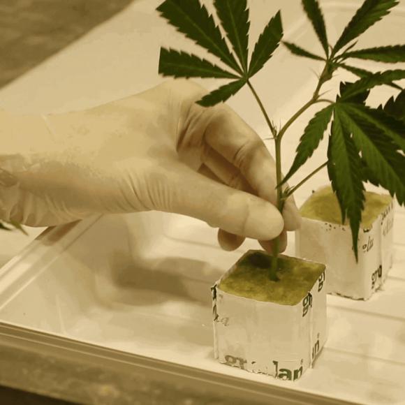 Coltivare marijuana utilizzando lana di roccia