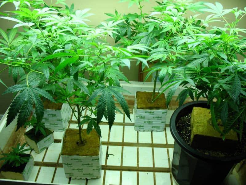 coltivare cannabis in lana di roccia
