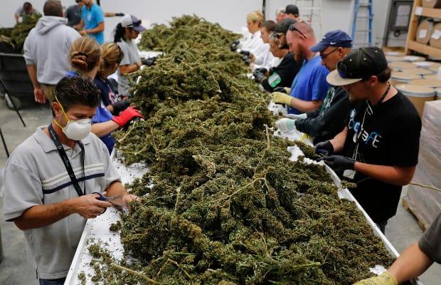qualità e potenza cannabis attuale