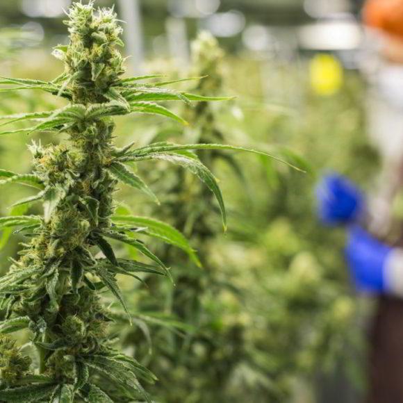 E' consentita la vendita di cannabis light con thc inferiore allo 0,6%, ora lo dice anche la cassazione