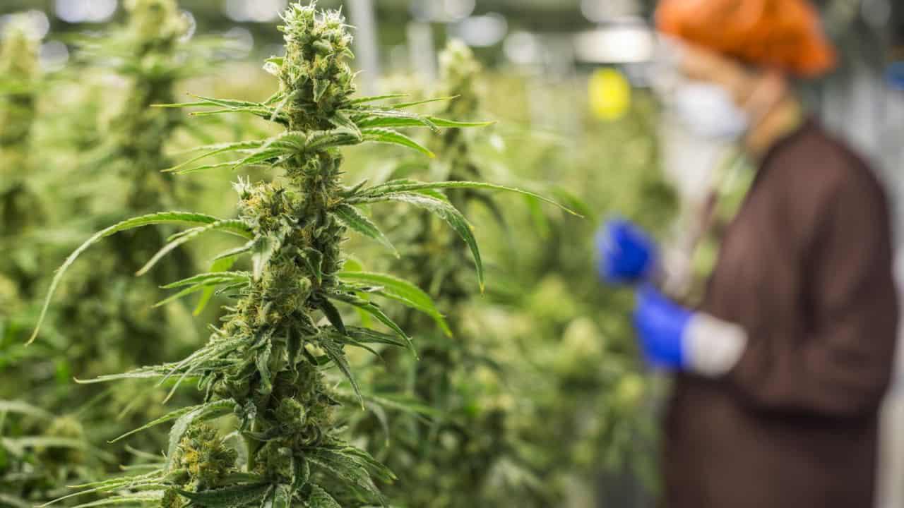 cannabis light sentenza cassazione