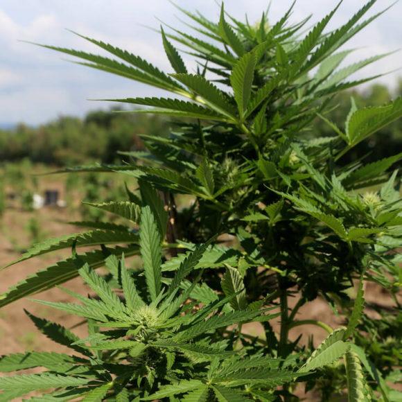 Cosa dice l'ultima sentenza della cassazione sulla cannabis light?
