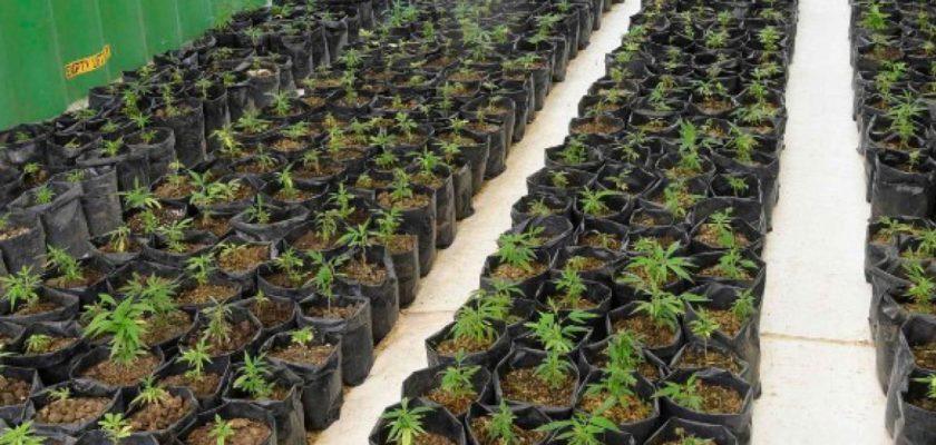cannabis messico