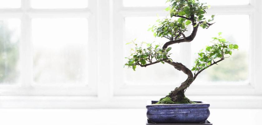 pianta di cannabis bonsai